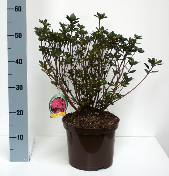 Japanische Azalee 'Petticoat' -R 2er Set Höhe 30 - 40 cm