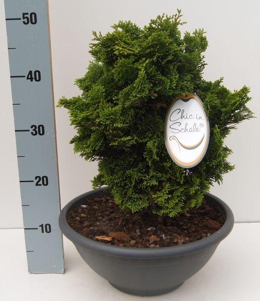 Japanische Zwerg-Muschelzypresse Höhe 25 - 30 cm