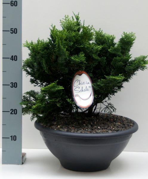 """Chic in Schale """"Japanische Zwerg-Muschelzypresse"""" wächst langsam, sollte aber frühzeitig eingepflanzt werden"""