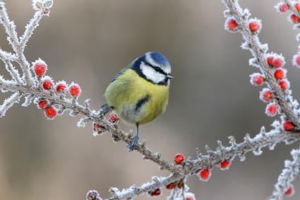 blaumeise-auf-vogelbeerstrauch-im-winter