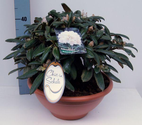 Rhododendron 'Schneekissen Höhe 30 - 40 cm